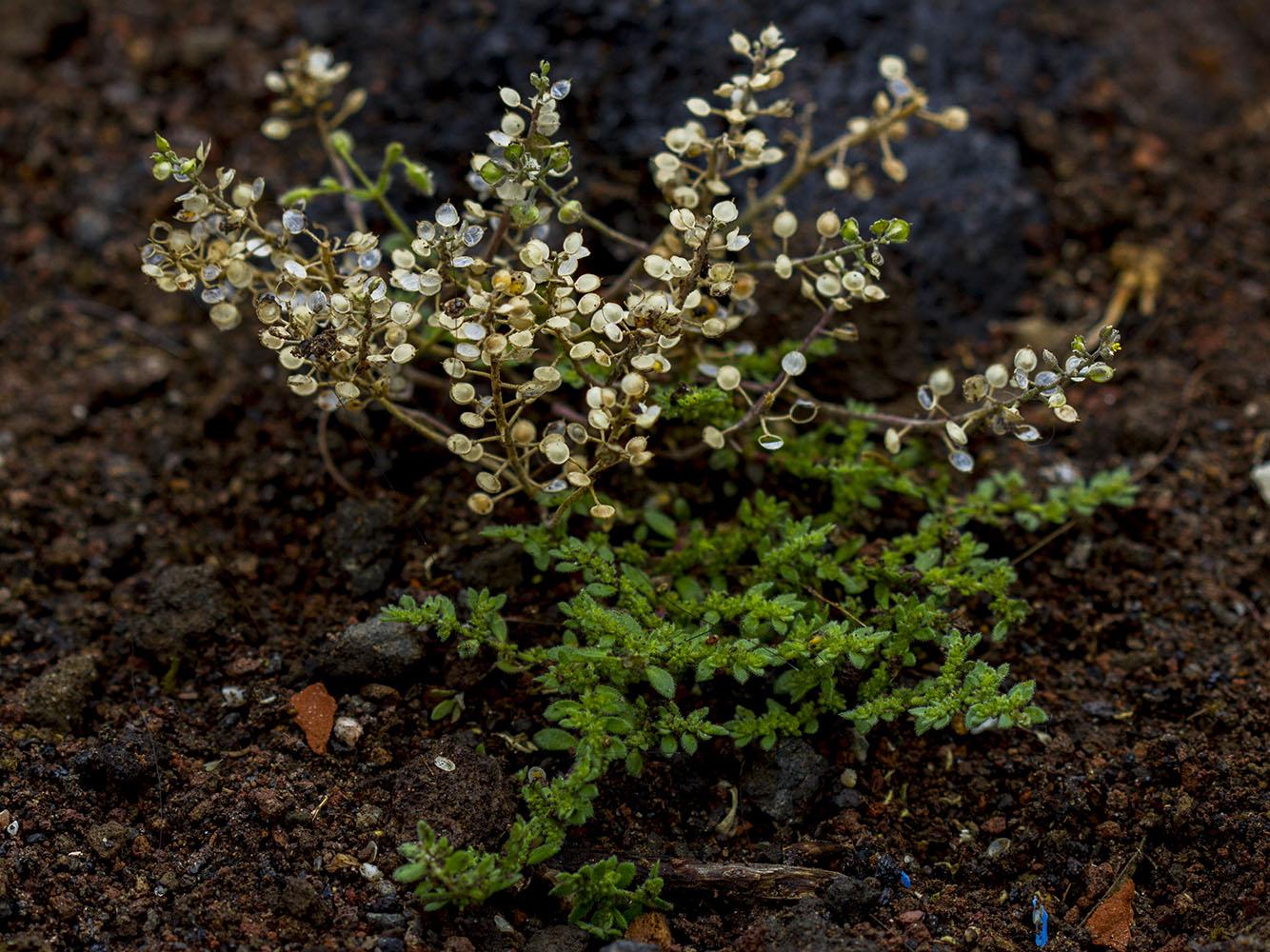 мелкие белые цветы, зеленые листья маленькие, ветки, почва