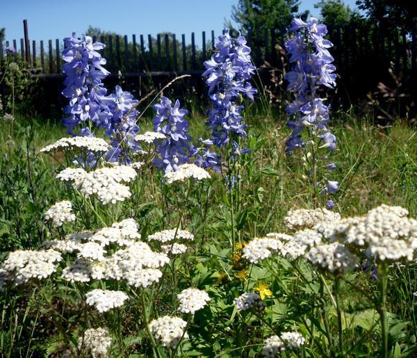 Тысячелистник белый цветы