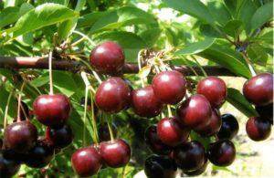 Темные вишневые ягоды