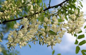 ветка, белые цветки, листья, небо