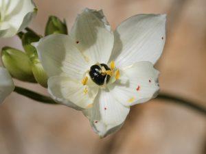 белый цветок, черный плод, желтые тычинки