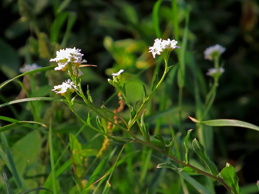 Свойства икотной травы