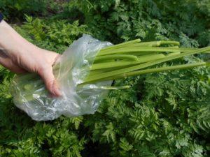 стебли, зелень, пакет, рука