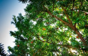 Дерево с плодами, небо