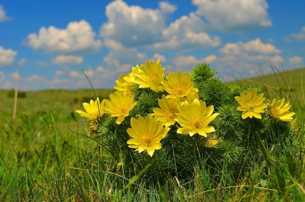 Цветы горицвета весеннего