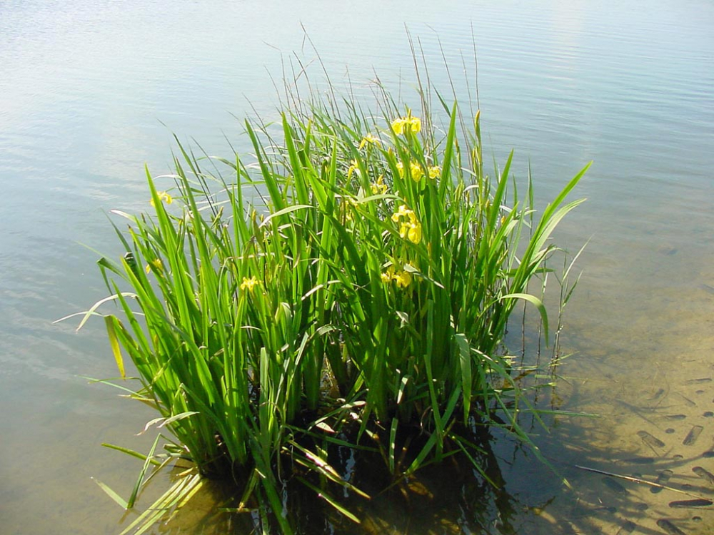 Трава аир болотный