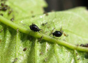 зеленый лист, черная тля