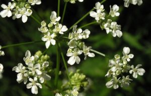 белые цветки, зеленые стебли