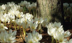 белые цветы, дерево