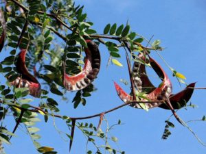дерево, плоды, листья, небо