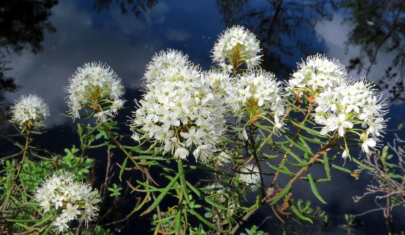 Багульник болотный дикорастущие растения