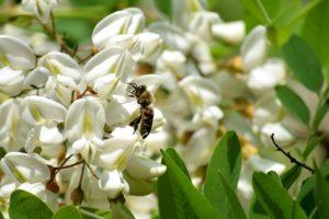 белые цветки, пчела, дерево