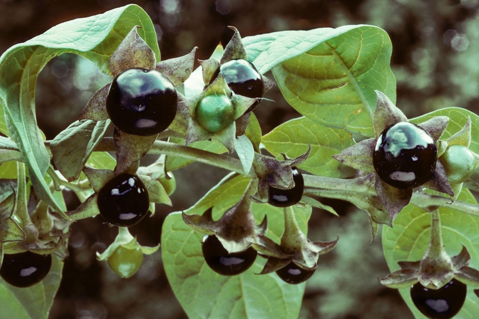 Белладонна растение лечебные свойства