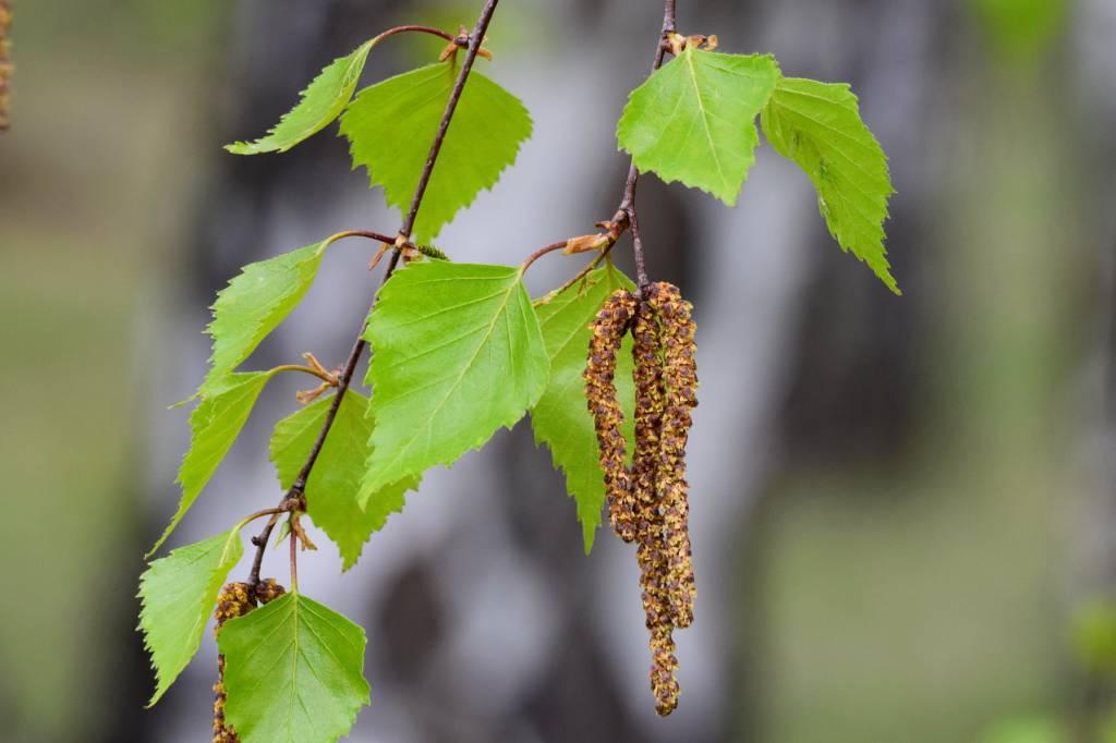 Почки и листья березы