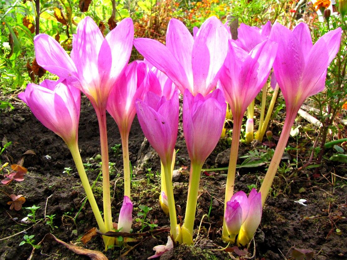 Безвременник: фото и виды, посадка и уход за цветком