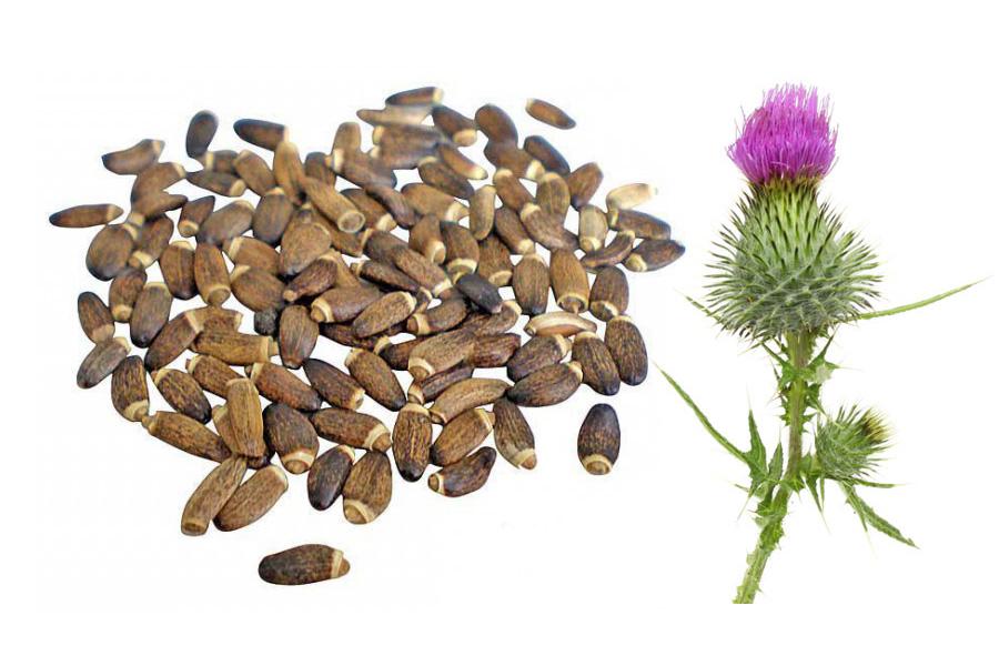 Семена расторопши