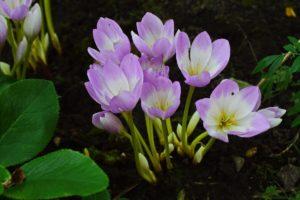 розовые цветки, почва, листья