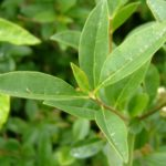 Бирючина листья