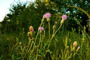 луг, сиреневые цветы, зеленые листья