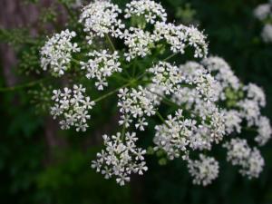 мелкие белые цветы