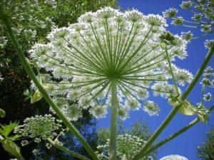 мелкие белые цветки, небо, стебли