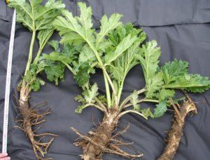 корни, зеленые листья, сантиметр