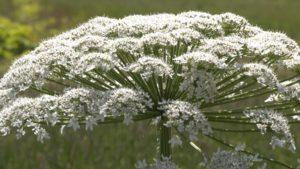 большой белый цветок