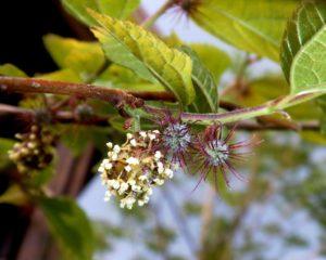 белые цветы, ветки, листья зеленые