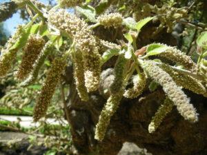 дерево с пушистыми сережками