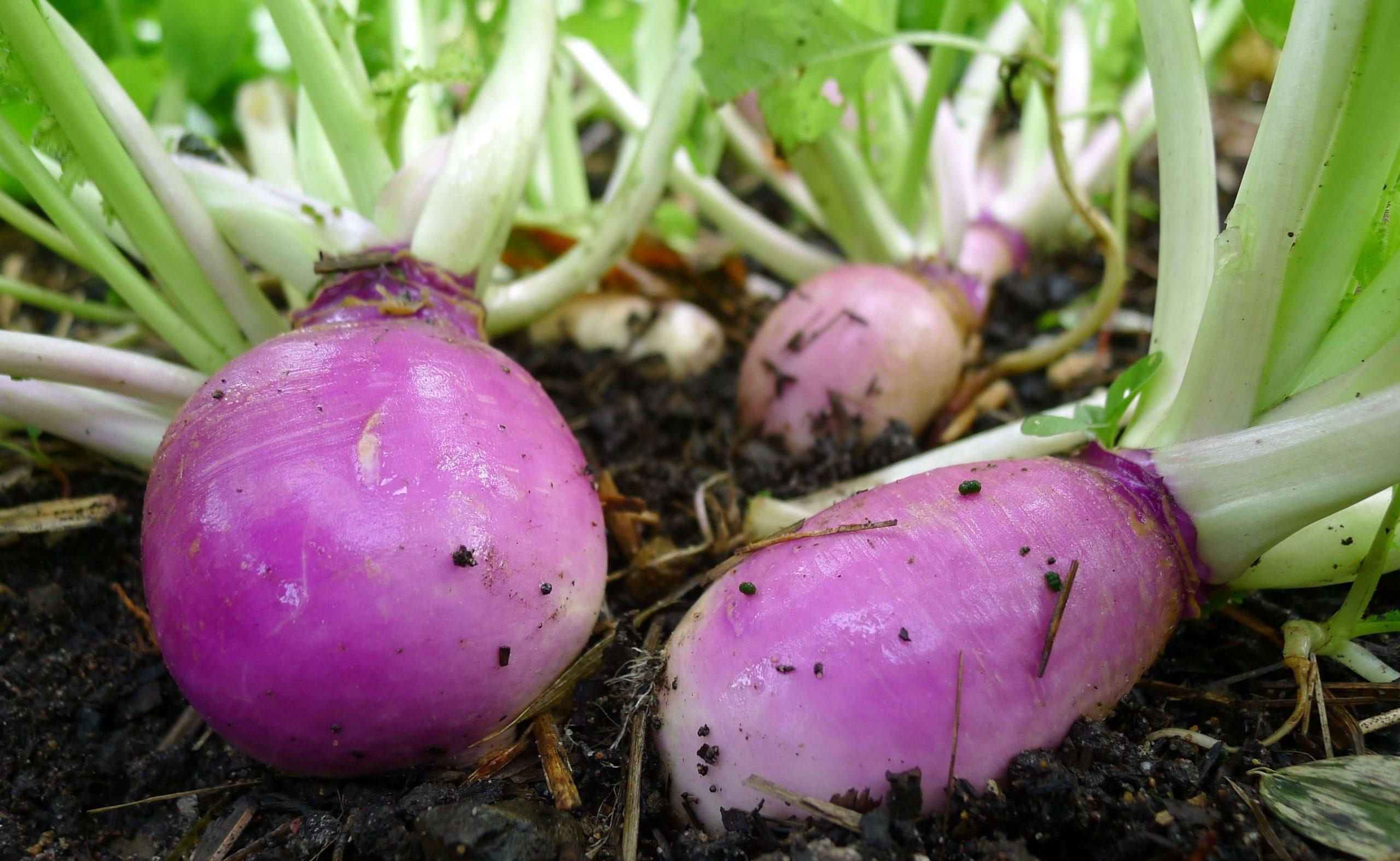 фиолетовые овощи, зеленые листья, почва