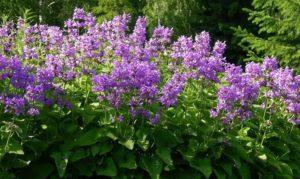 куст растения с сиреневыми цветами