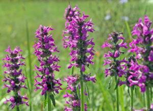 поле, цветы фиолетового цвета, зеленые стебли, листья