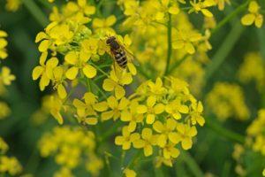 желтые цветки, пчела