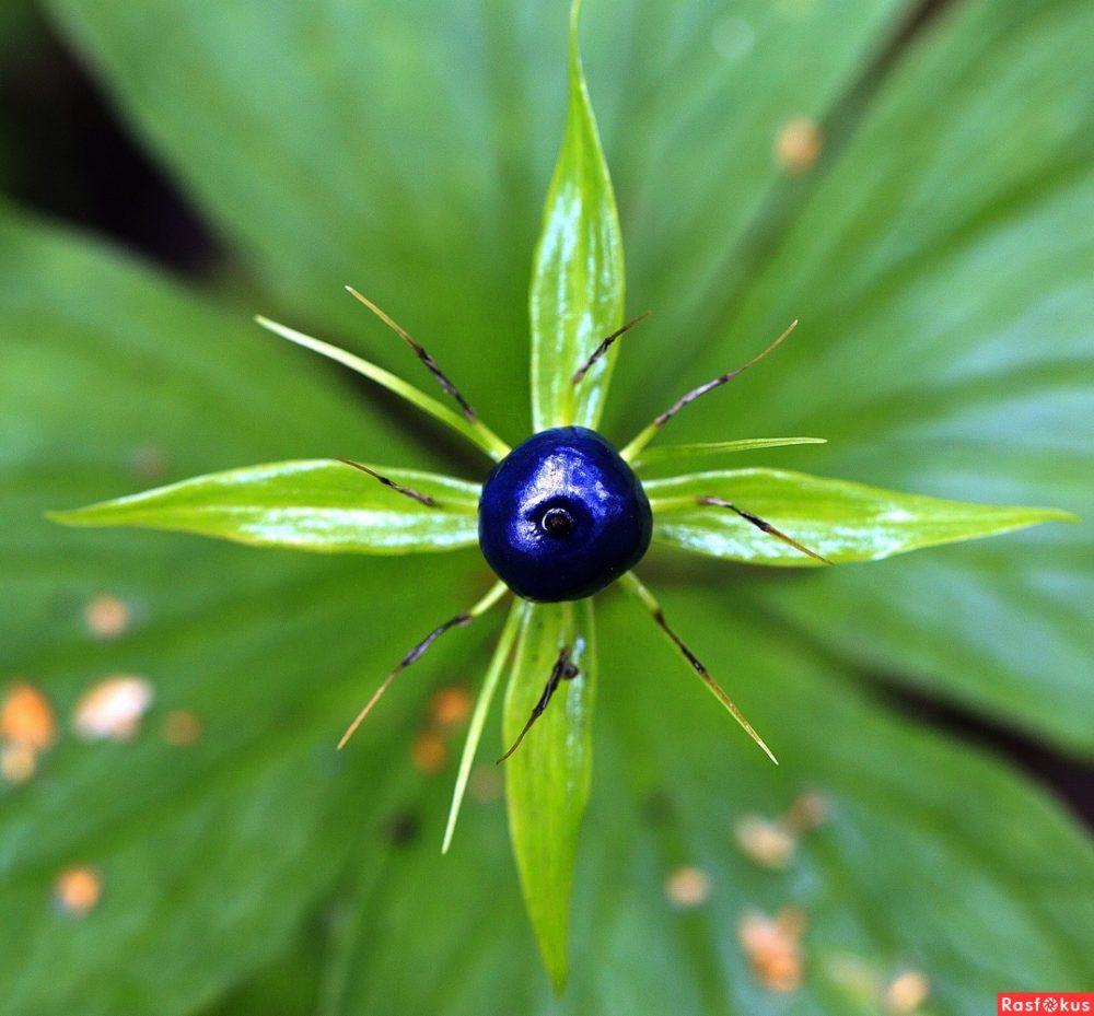 Синяя ягода, зеленые листья