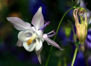 белый цветок, бутон