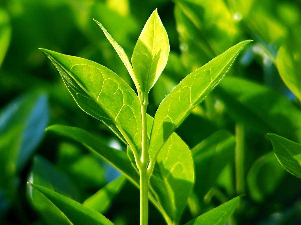 Ароматерапия чайное дерево