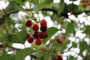 Ягоды, листья, дерево