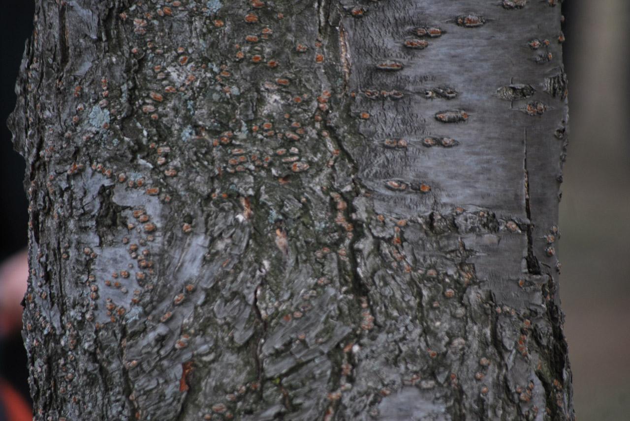 Дерево, кора