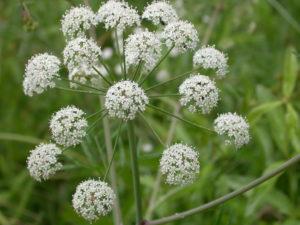 растение с белыми соцветиями