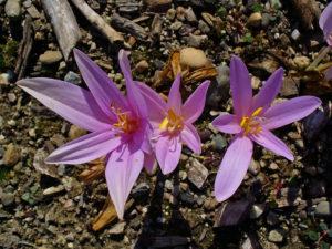 цветы лилового цвета, сухая почва