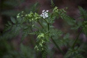 белый цветок, листья зеленые, растение, лес