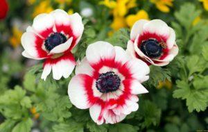 цветы красные с белым