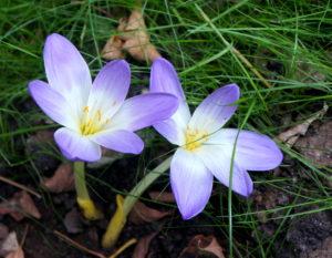 бело-голубые цветы