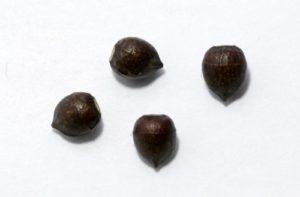 Семена коричневые