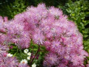 Сиреневые цветы