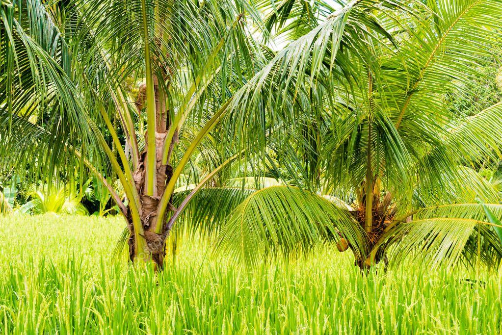 саговая пальма на рисовом поле