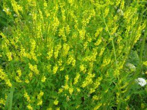 Поле с желтыми цветами