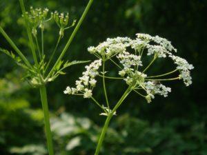 зеленые стебли, белые цветки