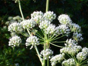 белые соцветия, стебли растения