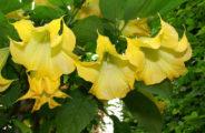 большие желтые цветы, листья